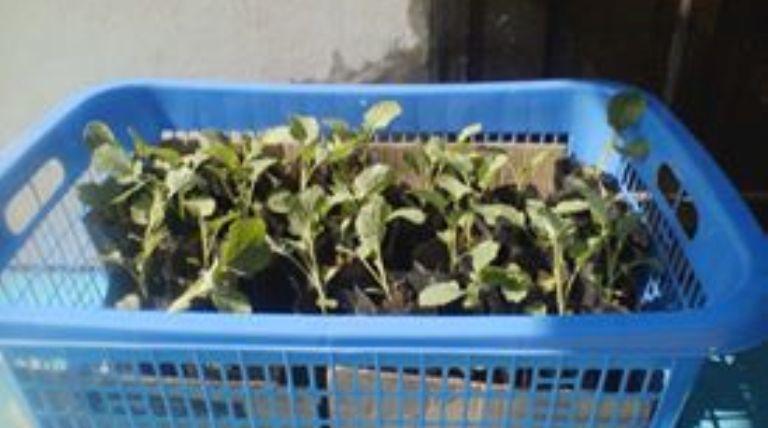 Bibit sayur brokoli siap diberikan kepada anggota Karang Taruna Sirongge
