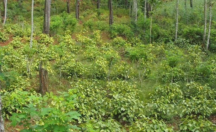 Hamparan Lada Perdu yang ditanam petani Dermaji di kawasan hutan negara