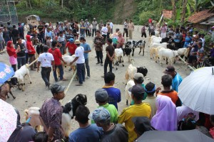 45 ekor kambing etawa